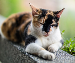 Cat  @ Hou Tong (Taiwan) (Rickloh) Tags: cats cat feline bokeh taiwan rick samsung meow taipei nx houtong catvillage nx30 samsungnx beyondbokeh samsungsg samsungnx30 rickloh nxsg rickintaiwan2015
