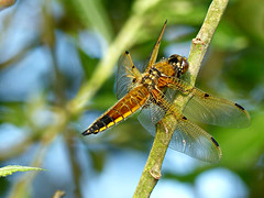 Libellula quadrimaculata /Viervlek / Four Spotted Chaser (Michiel Thomas) Tags: four spotted chaser libellula quadrimaculata viervlek