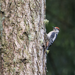 Great Spotted Woodpecker ~ Explored (Margaret S.S) Tags: bird woodpecker great spotted