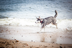 Ragnar at the beach (GaryBlack) Tags: sea dog playing beach sand husky play frolic shoreline running hobby shore hobbies activity playful mudeford activities ragnar romp passtime