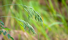 Leaning of the Grass Seeds Stalks (Orbmiser) Tags: field oregon portland spring nikon seeds grasses willametteriver eastbank d90 55200vr