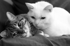 Close Friends (Danny VB) Tags: friends canon 7d portrait cat bestfriends cats blackandwhite friendsforever forever canada relaxing