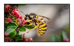 wasp (Richard Leah Photography) Tags: macro nature closeup wasp wildlife insects sigma105mm nikond800