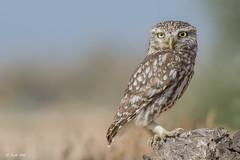 _SEN7022-E (Sento74) Tags: birds fauna aves bho athenenoctua rapaces mochueloeuropeo nikond7100 tamron150600