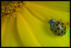 Ladybird (so close that lens is reflected) (hej_pk / Philip) Tags: yellow sony natur german m42 ladybird ladybug ddr pentacon blommor manualfocus gul adapted deutsch kwangju gwangju extensiontubes sydkorea tysk pentacon50mmf18 a5000 vintagegermanglass