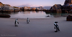 A Panorama of Penguins (Panorama Paul) Tags: panorama southafrica penguins simonstown westerncape bouldersbeach penguincolony jackasspenguins nikkorlenses nikfilters nikond800 wwwpaulbruinscoza paulbruinsphotography