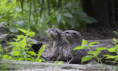 Asian Short Clawed Otters (malkv (400,000 + Views)) Tags: nature canon asian mammal otter 600d shortclawed