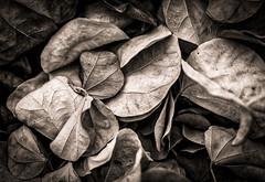 Debris (Daniela 59) Tags: texture monochrome leaves dead d deadleaves dry htt danielaruppel texturaltuesday