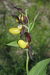 photo 2 (luka116) Tags: fleur juin suisse valais orchides 2016 cypripediumcalceolus derborence orchidaces