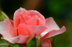 rose (Wolfgang Binder) Tags: flower macro nature rose zeiss nikon blossom balcony planar d7000 planart2100