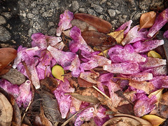 Confetti [Explored 6/2/16] (flowerweaver) Tags: pink brown black leaves rain yellow petals haiku explore moisture gravel leucophyllumfrutescens texaspurplesage