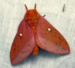 bug of the day (urtica) Tags: usa night insect ma massachusetts moth bugoftheday lepidoptera carver saturniidae carverma spinyoakwormmoth anisotastigma anisota mylesstandishstateforest