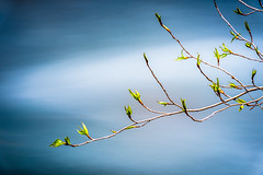 Spring Buds and Leaves (www.karltonhuberphotography.com) Tags: california longexposure abstract nature leaves creek river outdoors stream exploring peaceful calm zen buds dreamy watersedge meditation treebranches naturephotography newgrowth easternsierra creekside 2016 flowingwater smoothwater silkywater newbeginings horizontalimage karltonhuber