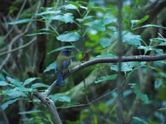 Bellbird (dougnewdick) Tags: bird animal zealandia bellbird