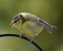 Shout (Katy Wrathall) Tags: 2016 bluetit eastriding eastyorkshire england june summer baby birds feeders garden 30dayswild