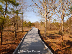 Cape May Point State Park Boardwalk-NJ (moelynphotos) Tags: boardwalk naturetrail nature newjersey capemay statepark trees evergreens deciduoustrees pinetrees wooden clearsky shadows landscapeformat nonurbanlandscape touristdestination path moelynphotos