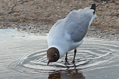 Black Headed Gull Drinking (clare.blandford) Tags: black gull hampshire headed calshot southamptonwater