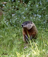 Curiosity (Andry11) Tags: groundhog marmots marmottes