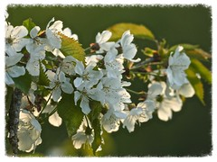 Evening blossom (Englepip) Tags: white flower tree green closeup cherry leaf blossom outdoor