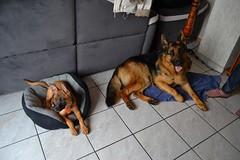 Leya et Jisno (charlie_rbt@ymail.com) Tags: chien cute puppy cuteness malinois chiot puppylove allemand berger belge