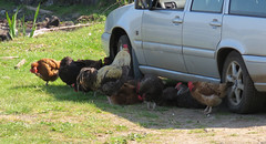 Too hot! Chickens in the shade (Rodents rule) Tags: chicken car scotland highlands shade eigg