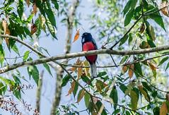 RSS_1052 (RS.Sena) Tags: brazil bird nature forest nikon natureza pssaro atlantic ave birdwatching mata atlntica d7000 sopaulobr