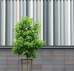 Tree (TablinumCarlson) Tags: leica 6 house plant tree germany square deutschland outdoor north architektur nrw ruhrgebiet baum gebude nordrheinwestfalen hattingen dlux fassade quadrat rhinewestphalia enneperuhrkreis