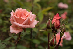 Rose with buds, Blenheim Rose Garden (Martin Stubbings) Tags: flowers rose rosebuds blenheimpalace