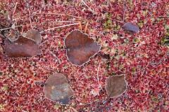 Autumn colors 3209 by Olli Lamminsalo (www.finnature.com) Tags: koivu syksy punainen suo ruska huurre kuura koivunlehti ruskanvrit lokakuu2012