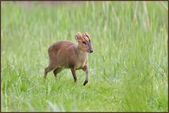 Muntjac (image 2 of 2) (Full Moon Images) Tags: nature animal mammal wildlife bcn reserve deer national trust fen cambridgeshire muntjac woodwalton nnr greatfen