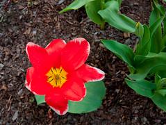 Powsin.20160416.13.48.40 (jasiorkowski) Tags: polska kwiat kolory czerwony powsin miejsca obiekty
