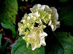 #TheGardenInJune #hydrangea #WHITE (RenateEurope) Tags: flowers plants white nature june flora blossoms hydrangea hortensie 2016 awesomeblossoms iphoneography renateeurope