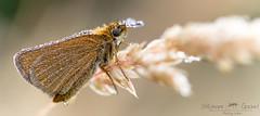 L'Hespérie du Dactyle (stephanegachet) Tags: france butterfly insect bretagne papillon morbihan insecte finistère gachet hesperiacomma lavirgule stephanegachet