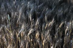 """""""Che ne sai tu di un campo di grano?"""" (Valentina Conte) Tags: summer nature field june sunrise corn alba wheat harvest ears campo giugno grano spighe frumento battisti cereali raccolto chenesaitudiuncampodigrano canon100d rebelsl1 valentinaconte"""