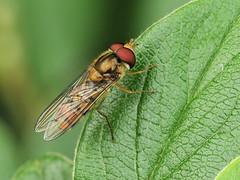 Episyrphus balteatus (Tim Worfolk) Tags: topsham episyrphusbalteatus marmaladehoverfly hoverfly syrphidae
