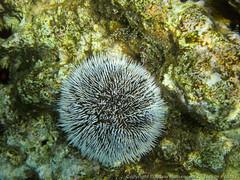 Sea Urchin (3scapePhotos) Tags: travel sea vacation island islands sailing underwater virgin tropical british caribbean urchin tropics bvi britishvirginislands normanisland