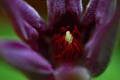 Clematis #7 (Kurtsview) Tags: white plant flower macro spring purple blossom clematis vine stamen cannon