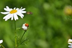 air traffic (JoannaRB2009) Tags: insect fly flying ladybird ladybug nature closeup green flower spring meadow zgnieboto dzkie lodzkie polska poland
