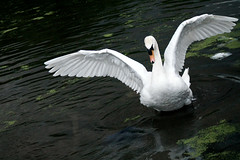 The Swan Mother (pallab seth) Tags: white bird london swan wings royal majestic muteswan cygnusolor barkingpark samsungnx1 samsung50200mmf4056oisifunctioniiilens