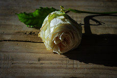 still life (Angelo Petrozza) Tags: stilllife rose flower fiore rosa pink white sadow ombra pentax zeiss manuallens