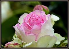 _JVA6851 (mrjean.eu) Tags: park pink flowers blue roses white france flower macro green nature fleur rose yellow fleurs garden nikon jardin botanic lorraine botanique parc metz 105mmf28