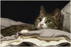 Layered softness ... (Jan Gee) Tags: green cat relax eyes chair kat chat quilt tabby gato gata gatto poes katje