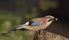 Jay-7689 (Kulama) Tags: summer nature birds woods jay westsussex wildlife canon7d sigma15060056contemporary