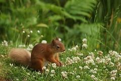 Red Squirrel tending its flower garden.. (Sandra Standbridge.) Tags: flowers animal mammal scotland outdoor bracken ferns clover redsquirrel wildandfree
