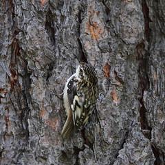 Brown creeper, Certhia americana (jlcummins - Washington State) Tags: bird nature washingtonstate yakimacounty bethelridge