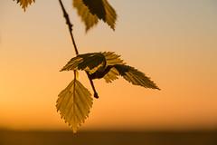 In the first light of the Day (Infomastern) Tags: sunrise dawn leaf birch bjrk pollen goldenhour lv sdersltt gyllenetimmen