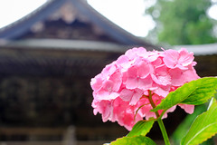 Temple and hydrangea (sonica@2006) Tags: pink beautiful june japan temple is very bokeh it fujifilm hydrangea fujinon yamanashi xm1 myohoji xf35mm