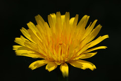 Dandelion (spencerrushton) Tags: wood flowers portrait sun plant flower colour macro nature fleur yellow canon outdoors petals walk flor 100mm dandelion yellowflower surry spencer blume wisley manfrotto rhs flori rushton manfrottotripod canon100mmf28lmacroisusm spencerrushton 760d canon760d efcanon100mmf28lmacroisusm rustwisley