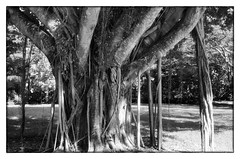 Banyan Tree - Palm Beach, FL (gastwa) Tags: travel shadow blackandwhite bw white black tree slr film beach nature analog zeiss 35mm t landscape nikon focus scenery angle florida wide wideangle andrew palm filter 200 carl infrared manual ilford manualfocus sfx 235 distagon carlzeiss fm2n distagont235 distagon352zf zf2 gastwirth andrewgastwirth