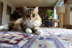 my cats: sputnik (photos4dreams) Tags: male home cat photo photos pics fluffy thank h sputnik siberian tomcat longhaired sibirian sibirische sibi waldkatze photos4dreams photos4dreamz p4d